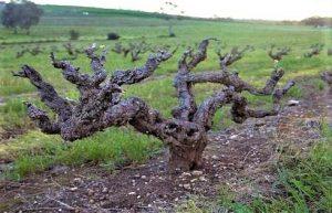トルブレック ワイン 葡萄樹