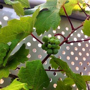 テラスのブドウが実をつけました(*^▽^*)ところで、このブドウの品種は?