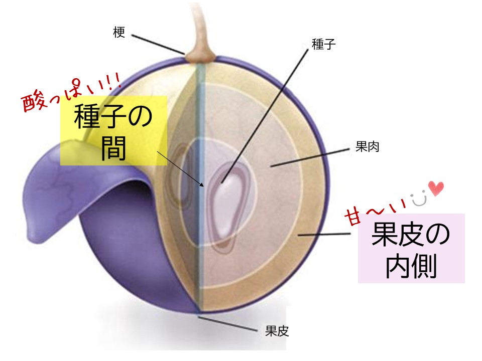 ブドウの断面図